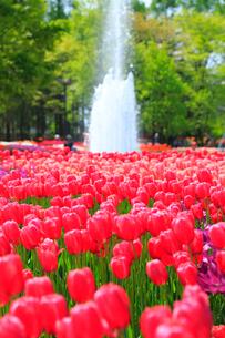 砺波チューリップ公園 チューリップの花の写真素材 [FYI02093703]