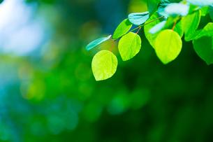 カツラの新緑アップとぼけた森の写真素材 [FYI02093713]