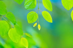 カツラの新緑アップとぼけた森の写真素材 [FYI02093716]
