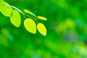 カツラの新緑アップとぼけた森の写真素材 [FYI02093722]