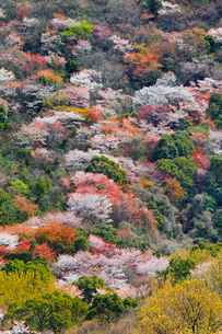 屋島の山桜の写真素材 [FYI02093758]