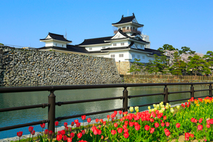 富山城とチューリップの花の写真素材 [FYI02093806]