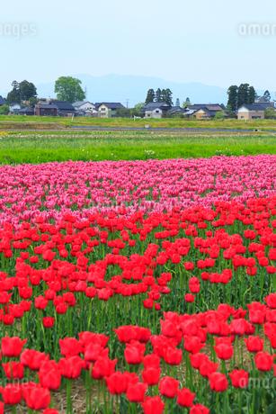 砺波平野 チューリップ花畑と散居村の写真素材 [FYI02093807]
