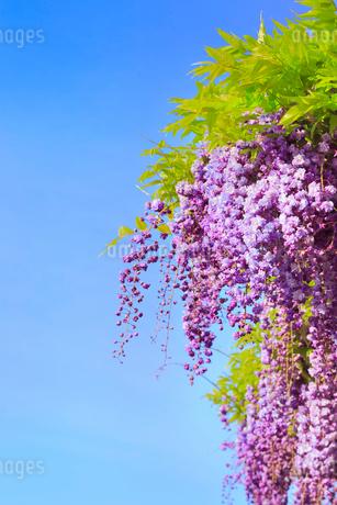 地福寺・フジの花の写真素材 [FYI02093836]