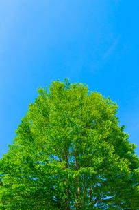 カツラの新緑と青空の写真素材 [FYI02093852]
