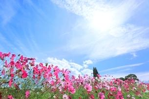 当間(あてま)高原 コスモスの花に太陽の写真素材 [FYI02093866]