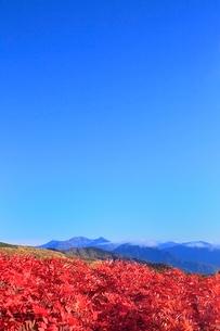 乗鞍エコーライン ナナカマドの紅葉と穂高連峰の写真素材 [FYI02093881]