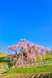 三春の滝桜の写真素材 [FYI02093929]