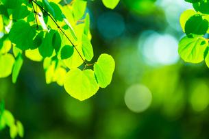 カツラの新緑アップの写真素材 [FYI02093960]