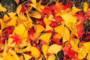 イチョウとカエデの散り紅葉の写真素材 [FYI02094072]