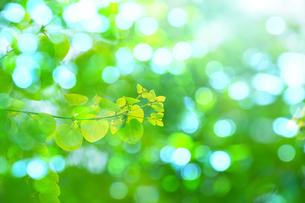 新緑のカツラの写真素材 [FYI02094119]