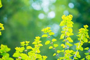 新緑のカツラの写真素材 [FYI02094120]