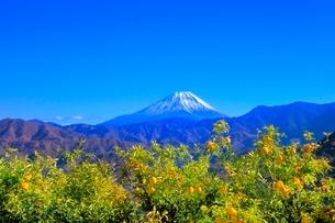 上高下よりゆずの木と富士山の写真素材 [FYI02094133]