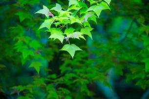 フウの新緑アップの写真素材 [FYI02094138]