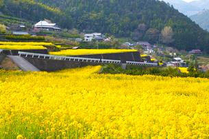 江田の棚田に咲くナノハナの写真素材 [FYI02094155]