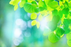 カツラの新緑アップの写真素材 [FYI02094230]