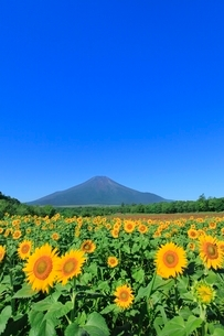 花の都公園のヒマワリと富士山の写真素材 [FYI02094300]