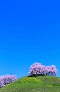 さきたま古墳公園のサクラとナノハナの写真素材 [FYI02094449]