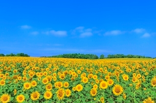 北竜町ひまわりの里 ヒマワリの花畑の写真素材 [FYI02094455]