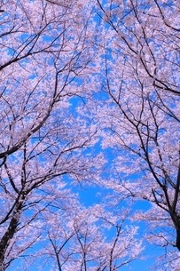 サクラ並木と青空の写真素材 [FYI02094461]
