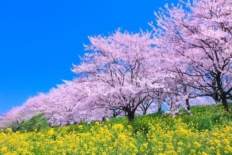 桜並木とナノハナの写真素材 [FYI02094527]
