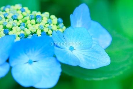 アジサイの花の写真素材 [FYI02094536]
