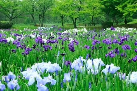五十公野公園 アヤメ園の写真素材 [FYI02094538]