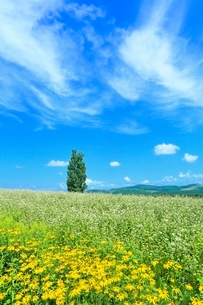 美瑛 ケンとメリーの木とソバ畑の写真素材 [FYI02094574]