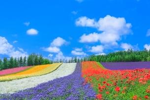 ファーム富田,彩りの畑(カスミソウ,アゲラタム,ポピー)の写真素材 [FYI02094642]