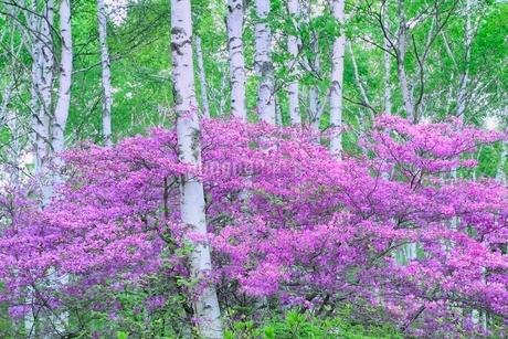 八千穂高原 トウゴクミツバツツジと白樺林の写真素材 [FYI02094647]