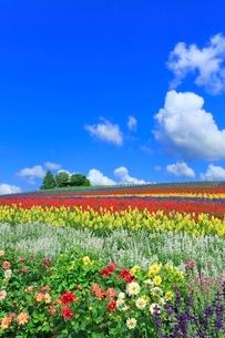 かんのファーム,花畑(ダリア,サルビア)と緑の樹林の写真素材 [FYI02094654]