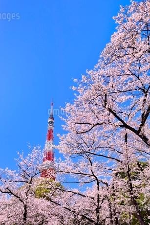 東京タワーと桜の写真素材 [FYI02094697]
