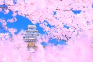 サクラと姫路城の写真素材 [FYI02094766]