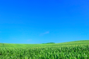 美瑛 トウモロコシ畑と樹林の写真素材 [FYI02094767]