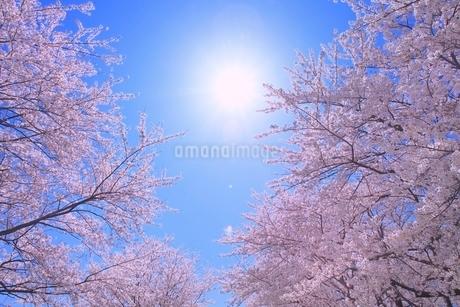 サクラと太陽の写真素材 [FYI02094778]