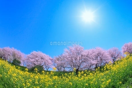 サクラ堤公園のサクラとナノハナに太陽の写真素材 [FYI02094802]