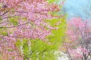 桜の花と新緑の白樺の写真素材 [FYI02094808]