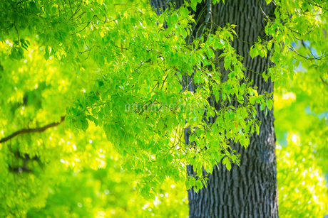 新緑の葉アップの写真素材 [FYI02094833]