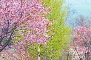 桜の花と新緑の白樺の写真素材 [FYI02094853]