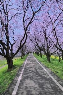 桜並木と道の写真素材 [FYI02094884]
