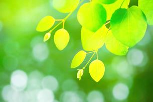 新緑のカツラアップの写真素材 [FYI02094924]