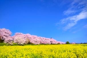 権現堂堤の桜並木とナノハナ畑の写真素材 [FYI02094940]