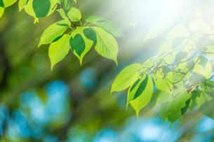 新緑の桜葉アップとぼけに太陽光の写真素材 [FYI02094944]