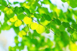 新緑のカツラアップの写真素材 [FYI02094949]
