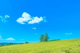 美瑛 麦畑の丘と樹林に雲の写真素材 [FYI02094966]
