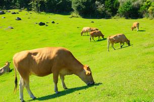 赤牛の放牧の写真素材 [FYI02094974]