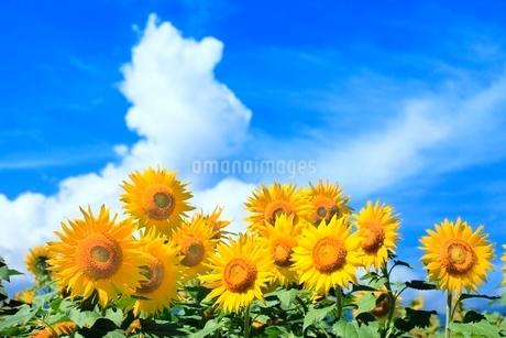 ヒマワリの花と入道雲の写真素材 [FYI02094992]