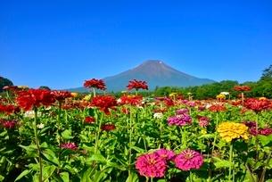 花の都公園 富士山と百日草の花畑の写真素材 [FYI02094997]