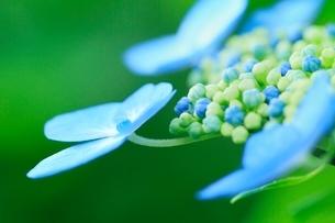 アジサイの花の写真素材 [FYI02095000]