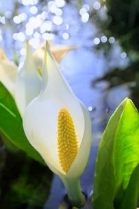 ミズバショウの花の写真素材 [FYI02095019]